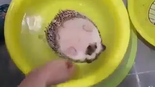 Hedgehog sitting in his tube for some relaxition  - Video
