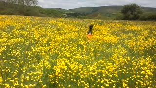 Border Collie finds frisbee in field of flowers