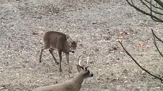 Deer Destroys Decoy