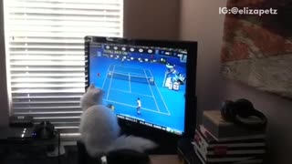 Cat watches tennis - Video