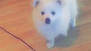 Small white puppy tries to touch a black hanging wire  - Video