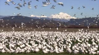 Snow Geese are Back in the Skagit Valley - Video