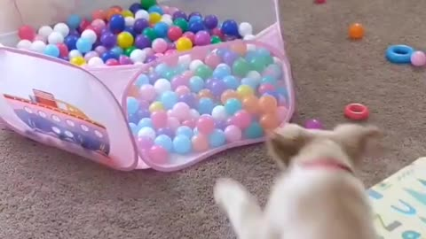 Puppy runs, jumps and dives into ball pit