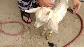 Rescue Goat has Lice  - Video