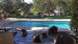 Mama Bear and Cubs Cool off in Pool - Video