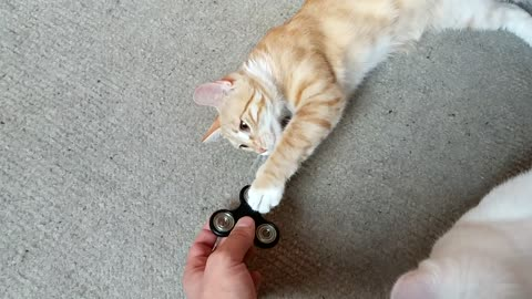 Curious kitten fascinated by fidget spinner