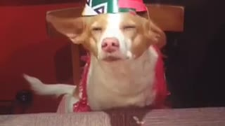 Boomerang brown dog in pink party hat treat drops on table - Video