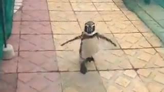Funny and Cute Penguin Road Racing  - Video