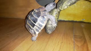 Greek Tortoise realy love his new house