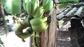 Fruit banana tree growing in the middle of the trunk - Video
