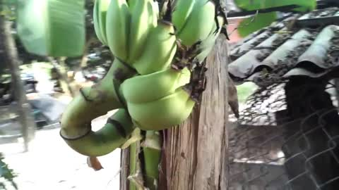 Fruit banana tree growing in the middle of the trunk