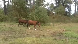 And Horses Loves To Play With A Ball, Only They Should Be Given A Chance To Show That! - Video