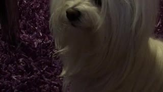Our maltese puppy is burping after dinner  - Video