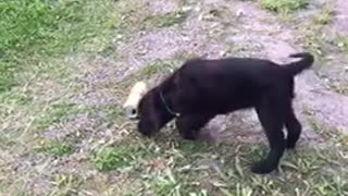 Black dog in backyard barking at gold beer soda can on grass - Video