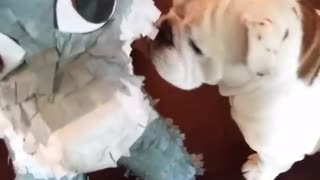 Brown dog freaks out when pinata falls on it