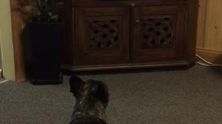 French Bulldog watches Supervet - Video