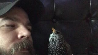 A European Starling Talking to his Dad