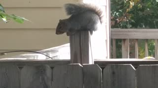 Music squirrel sits on a wooden fence