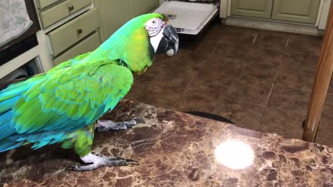 Parrot not interested in toy, tosses it onto the floor