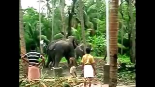 Elephant of India  - Video