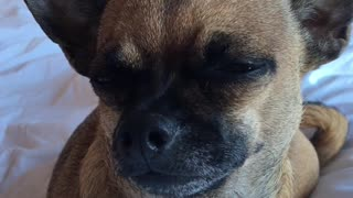 Chihuahua moans to keep herself awake  - Video
