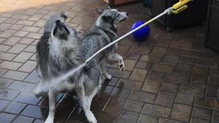 Two Silly Dogs Won't Let The Owners Use The Hose