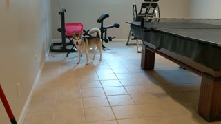 Husky loves to play with ball from foosball table