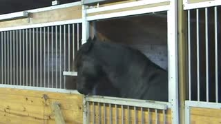This Houdini Horse Will Amaze You With Her Lock Opening Skills Around the Barn - Video