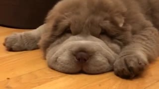 Super relaxed puppy is sure to brighten your day - Video