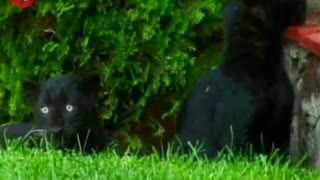Baby Black Panthers - Video