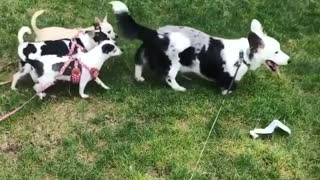 Black and white dog followed by puppies - Video