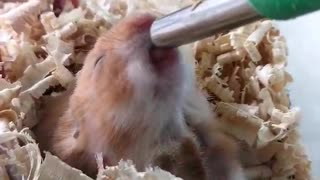 This Tiny Hamster Drinks Its Water In The Most Adorable Way