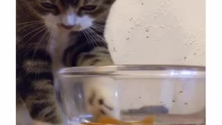 Cat fascinated by toy goldfish, tries to catch it - Video