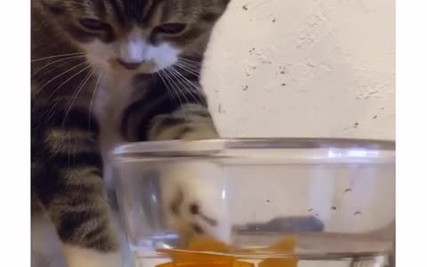 Cat fascinated by toy goldfish, tries to catch it