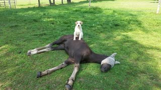 Terrier loves to sit on top of his new foal friend
