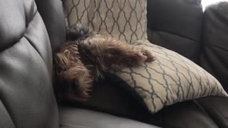 Dog on couch with weird snore - Video