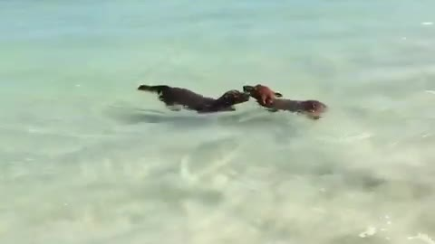 Dachshunds perform synchronized swimming at Australian beach