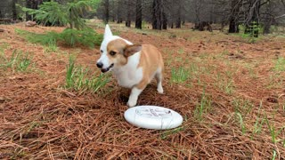 Corgi makes it crystal clear he wants you to throw the firsbee