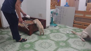Determined Dog Prevents Man from Punishing Puppy