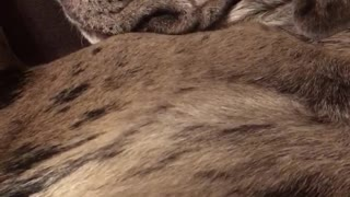 Grey dog sleeping next to owner with arm over owners chest snoring - Video