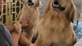 Two Golden Retrievers Love Being Scratched - Video
