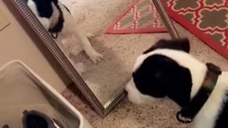 Black and white puppy barks at mirror on carpet - Video