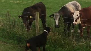 Doberman meets curious cows, ecstatic for new friendship