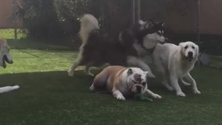 Five dogs fenced in together playing together - Video
