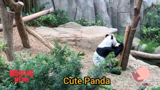 Adorable Panda sitting and playing on a tree