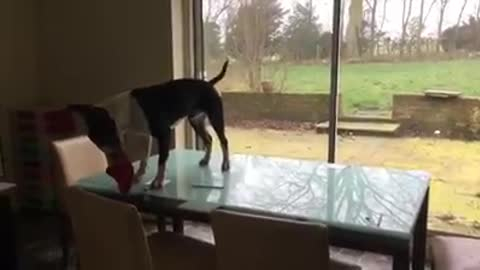 Tap dancing Doug the English Bull Terrier on a glass table