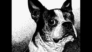 """Boston Style"" - Boston Terrier, Scratchboard Drawing WIP"