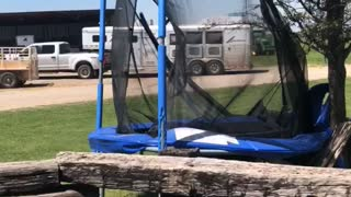 Bull Totals the Trampoline