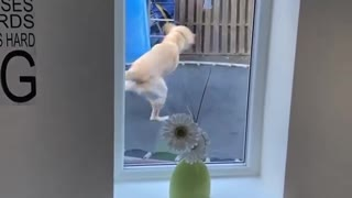 Dog Shows Boy How to Use the Trampoline