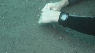 Diver Rescues Fingered Dragonet - Video